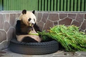 oji panda1