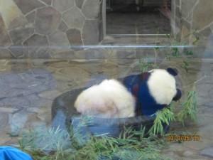 oji panda2