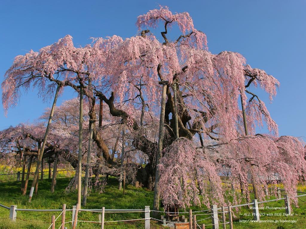 三春の滝桜のアクセス方法や見頃...